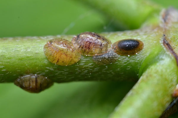 Common brown scale infestation on a plant