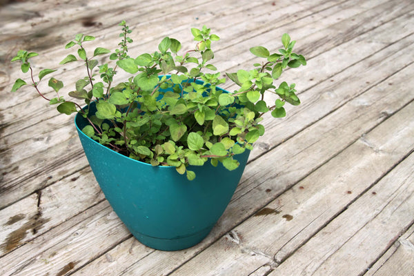 Fragrant green Greek oregano in pot with wooden background