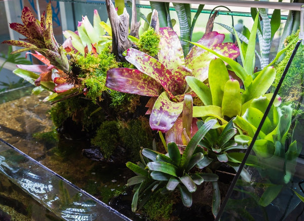 Optimized terrarium style small garden with rock and driftwood in glass container containing soil and decoration bromeliad plants