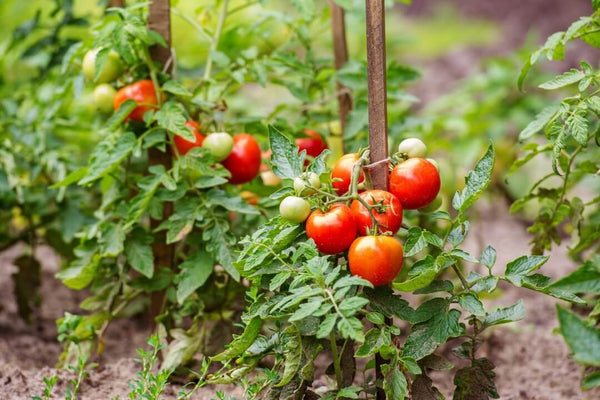 Ripe tomatoes cultivated in the garden