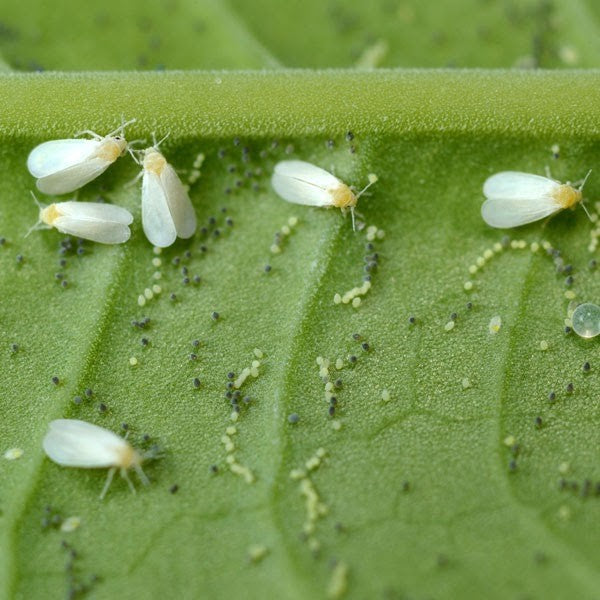 Swarms of whitefiles on a leaf