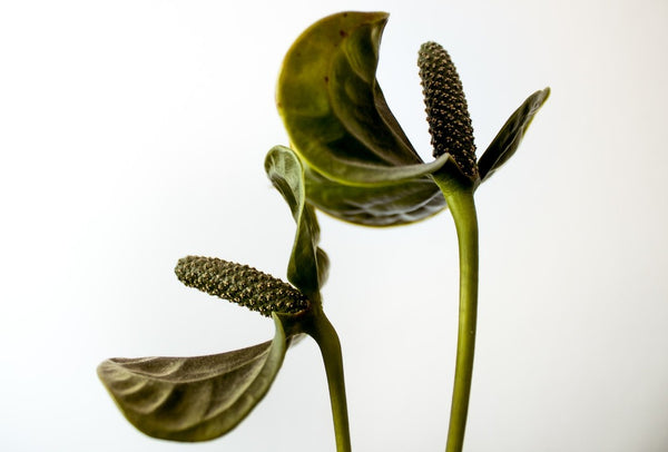 Anthurium is a red heart shaped flower plant