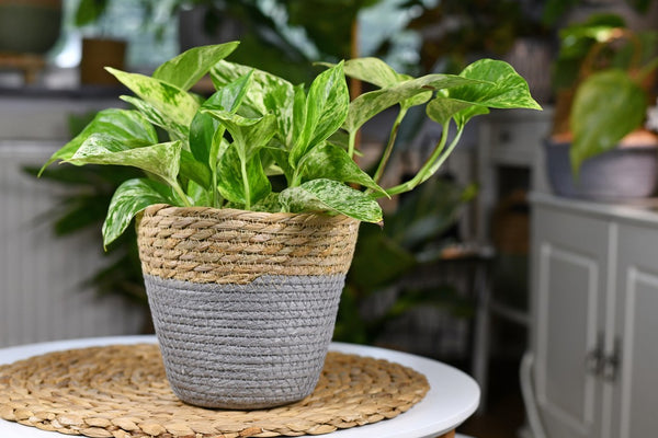 Pothos house plant with white variegation in natural basket flower pot on table
