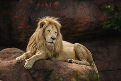 lion sleeping on rock