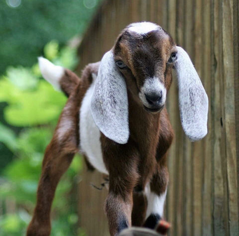 goats milk, goat, goat milk, skin care, lactic acid skin care, lactic acid, chemical peel types, chemical peels