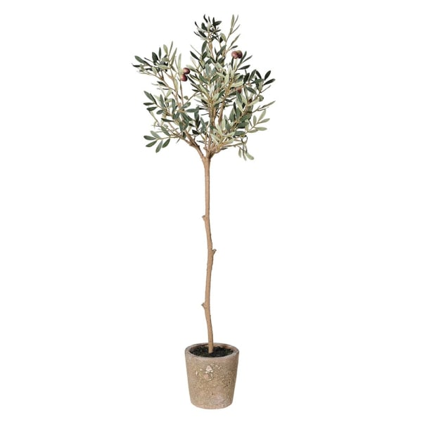 Natural Olive tree in pot