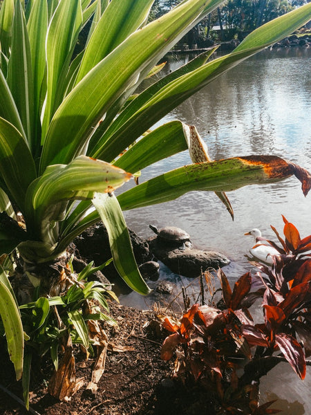 Ducks and Turtles at the Maui Tropical Plantation