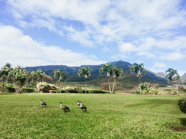 Nene Geese at the Maui Tropical Plantation