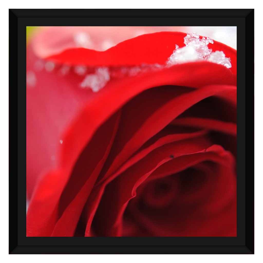 Snow Covered Rose Framed Canvas