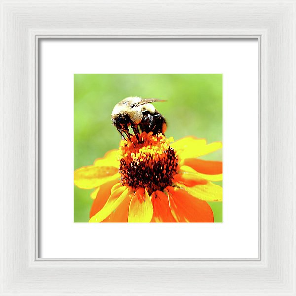 Bee On A Flower - Framed Print