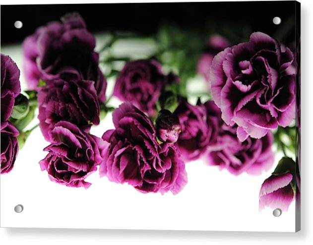 Pink And Purple Carnations On Lightbox - Acrylic Print - expressive-flower-art-goods.myshopify.com