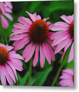 Purple Cone Flowers - Metal Print