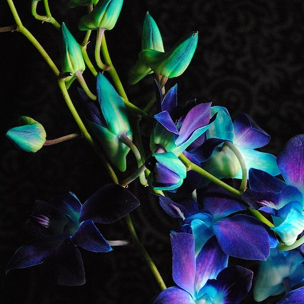 Purple Orchid Buds - Art Print