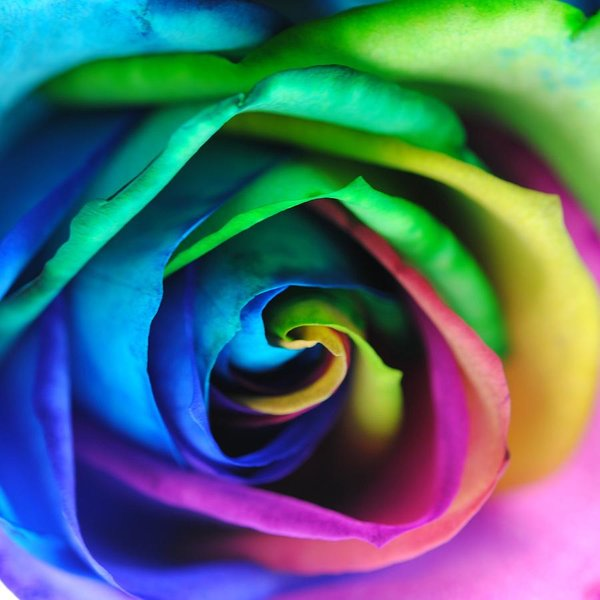 Rainbow Rose 17 - Art Print