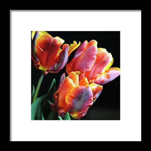 Red And Orange Tulips - Framed Print