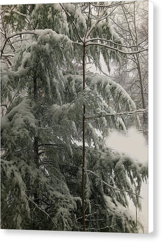 Snow Covered Pine Tree - Canvas Print