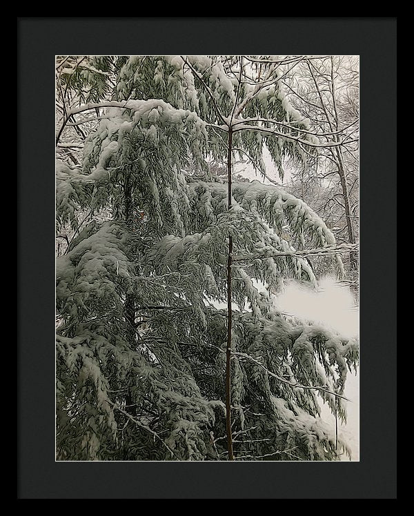 Snow Covered Pine Tree - Framed Print