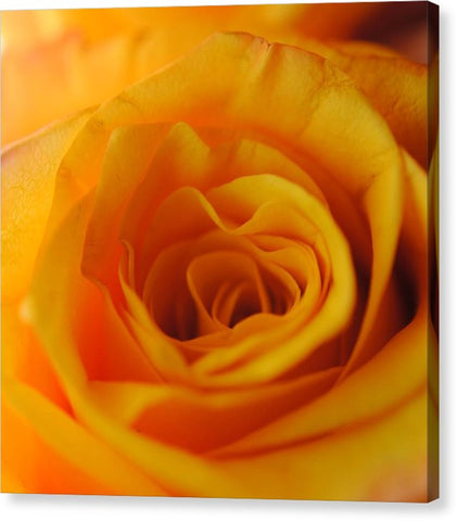 Yellow Rose Close Up - Canvas Print