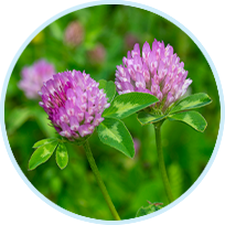 Red Clover Flower Powder and Red Clover Powdered Extract