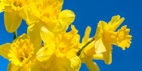 bright yellow daffodils against blue sky
