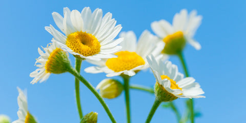 white and yellow daisies against light blue sky