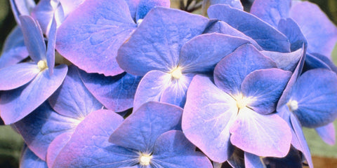 close up of purple and bloom hydrangea bloom