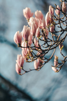 Vertical photo of full magnolia tree branch