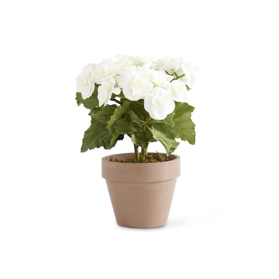 "11"" White Potted Begonia"