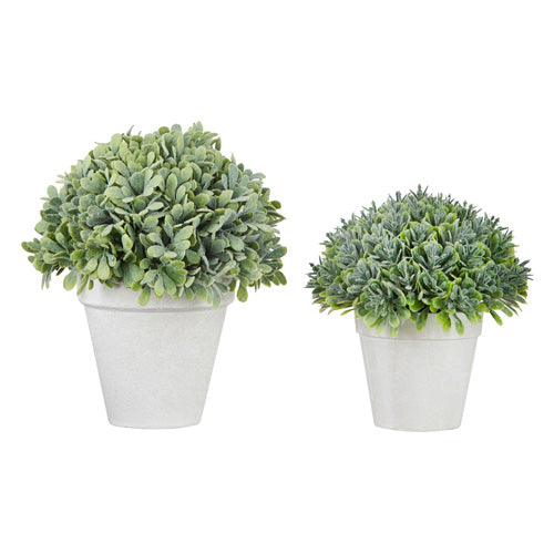 Potted Boxwood (Various Sizes)