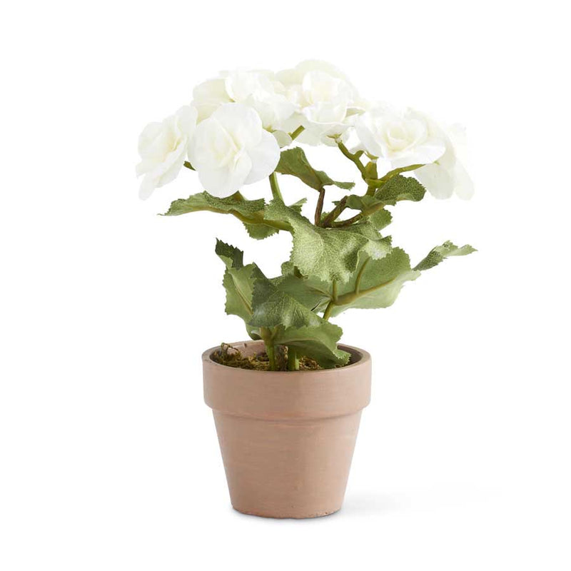 "8.5"" White Potted Begonia"