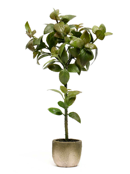 Potted Basil Tree