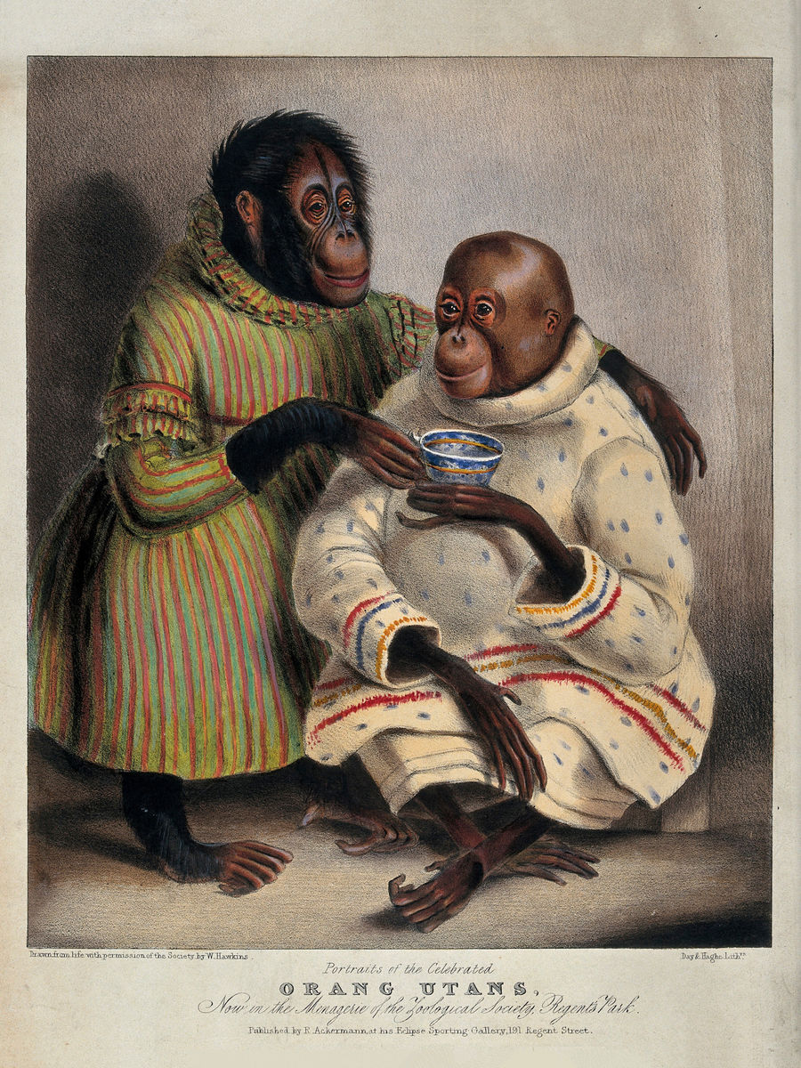 Two Orang-utans Wearing Clothes and Drinking Tea - c. 1840