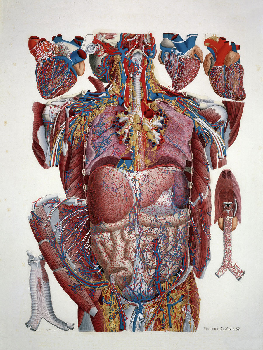 Anatomical Illustration Illustration of Human Viscera