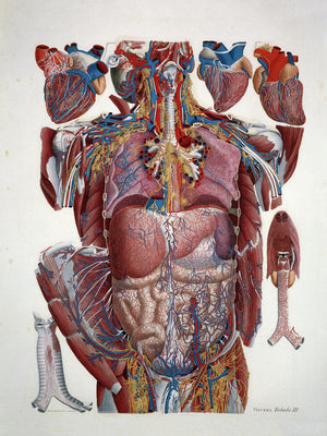 Anatomical Illustration Illustration of Human Viscera by Paolo Mascagni