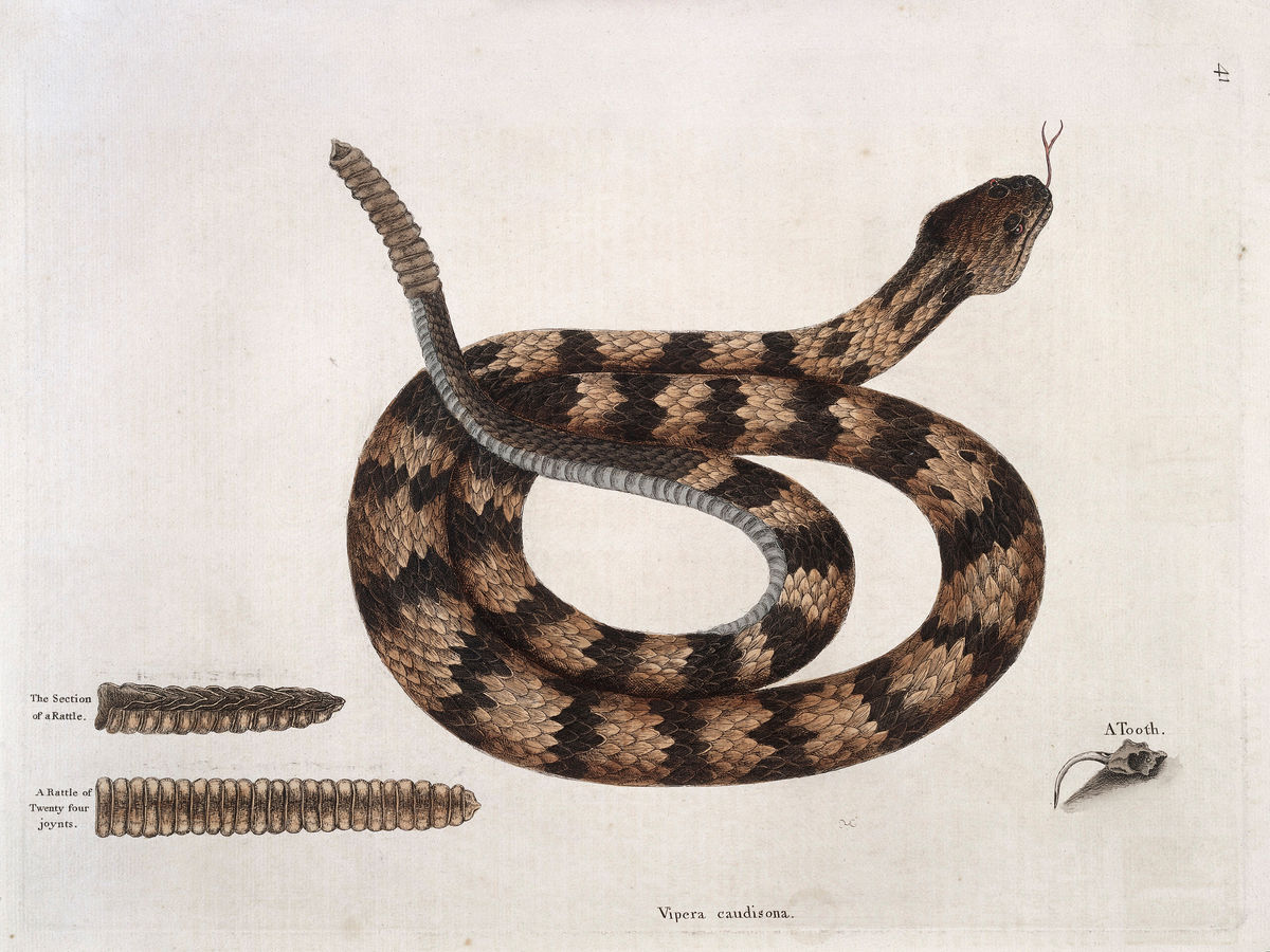 Rattlesnake With Section of Rattle and Tooth - 1731