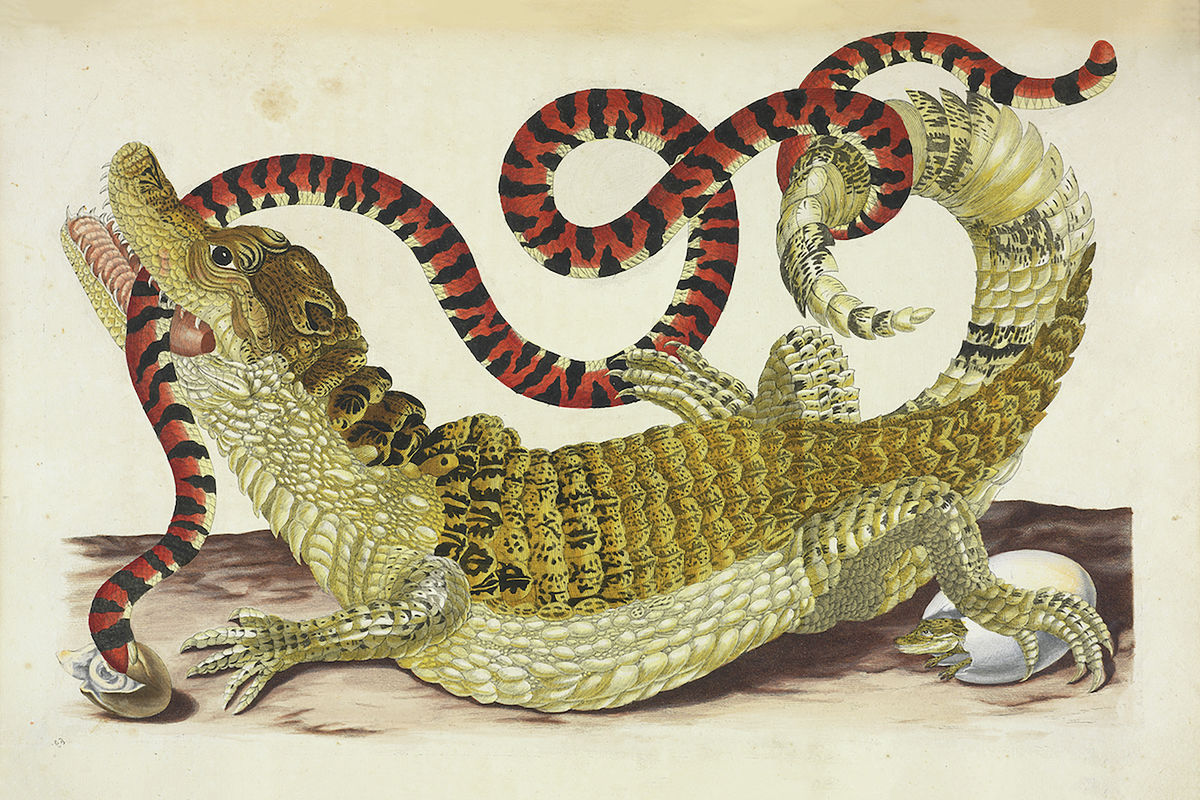 Surinam Caiman Biting South American False Coral Snake by Maria Sibylla Merian - 1719