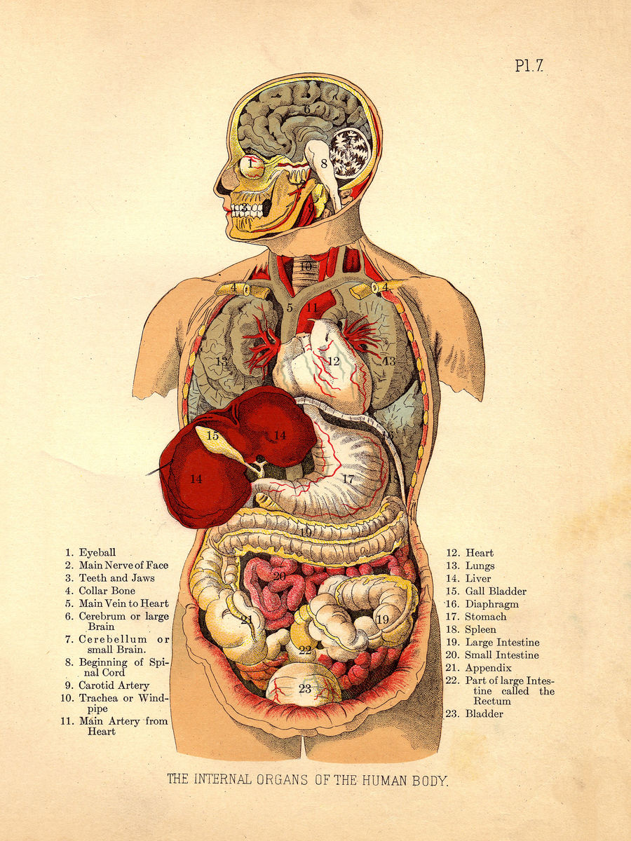 Internal Organs of the Human Body from The Household Physician - 1905