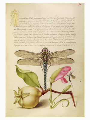 Dragonfly, Pear, Carnation and Insect by Joris Hoefnagel - 1562