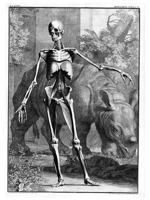 Muscled Skeleton Facing Front with Rhinoceros - 1747