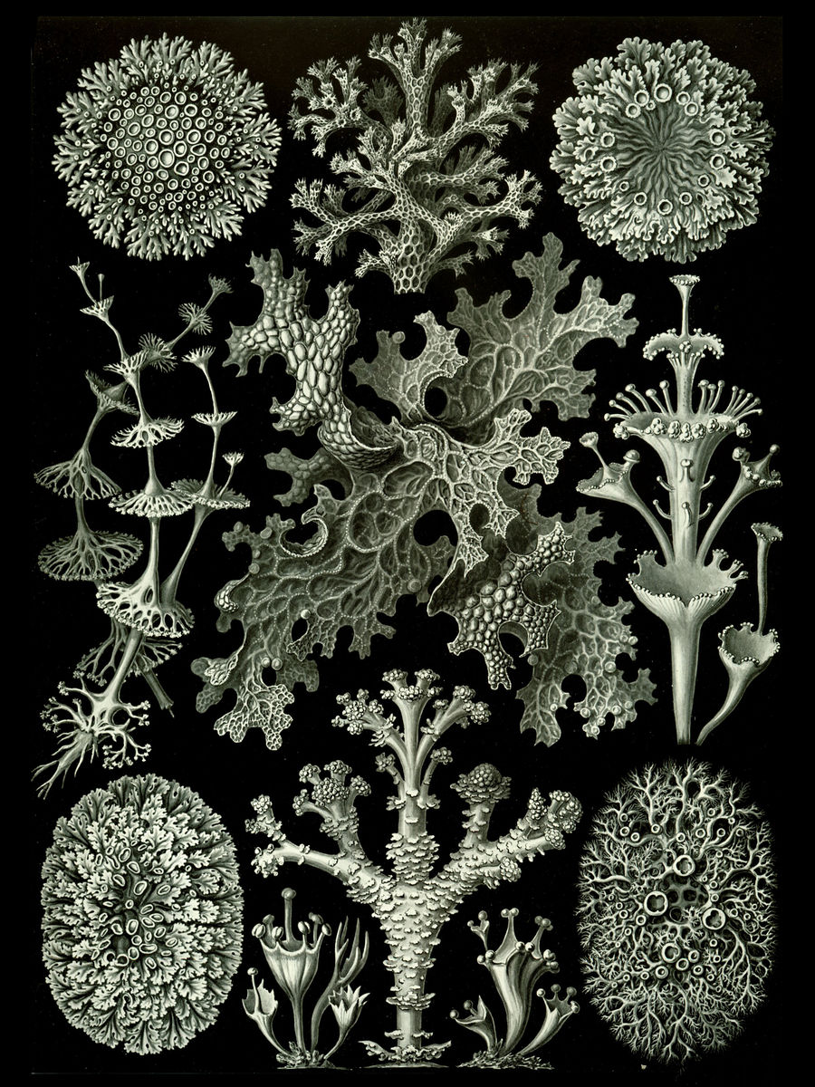 Lichen by Ernst Haeckel - 1904