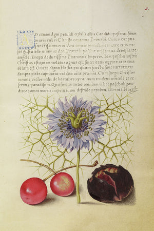 Love-in-a-Mist, Sweet Cherry and Spanish Chestnut by Joris Hoefnagel - 1561