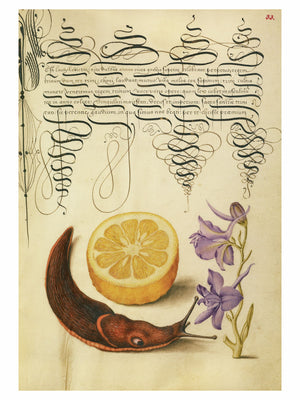 Sour Orange, Terrestrial Mollusk and Larkspur by Joris Hoefnagel - 1561