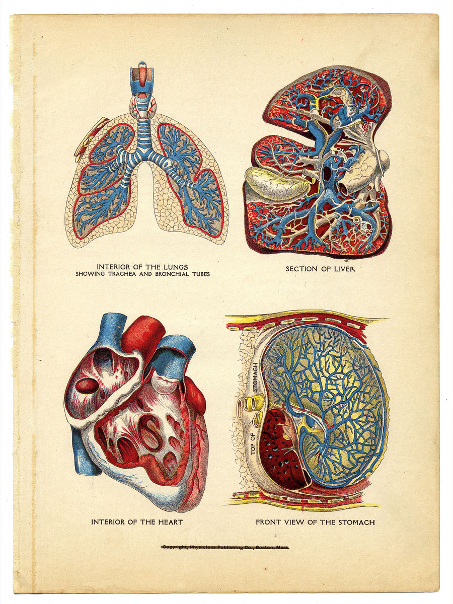 Interior of the Heart, Lungs, Liver and Stomach