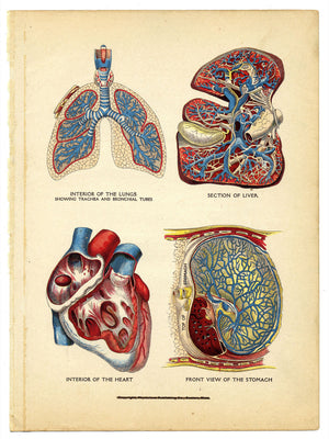 Interior of the Heart, Lungs, Liver and Stomach - 1905