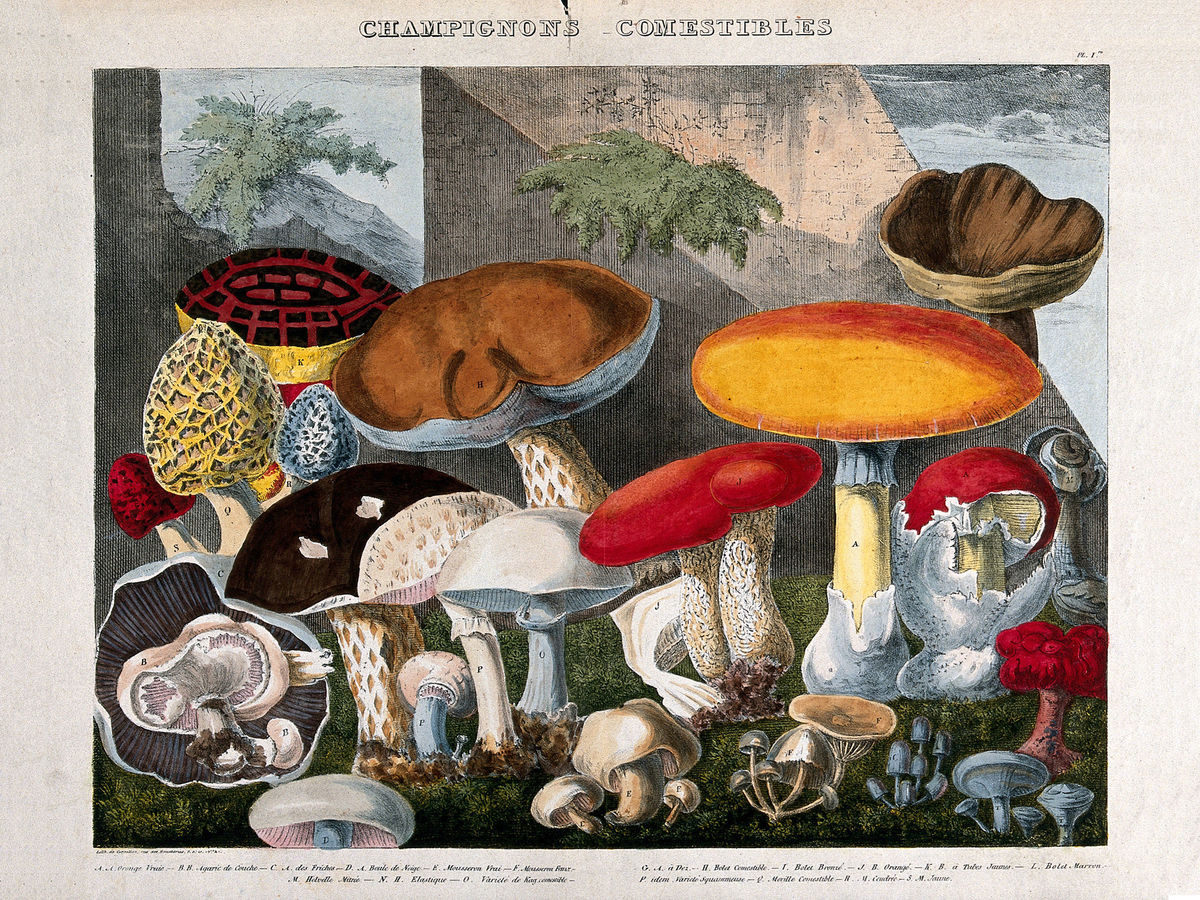 Edible Fungi by A. Cornillon - ca. 1827
