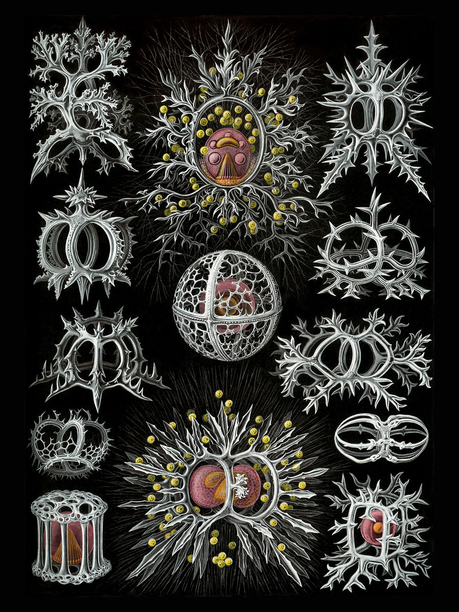 Stephoidea by Ernst Haeckel - 1904
