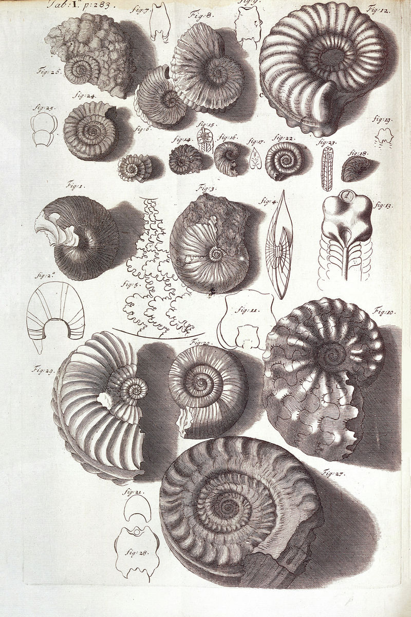 Ammonite Fossils illustrating Hooke's Discourse on Earthquakes by Robert Hooke