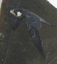 Load image into Gallery viewer, Peregrine Falcon