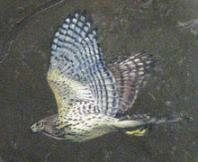 Load image into Gallery viewer, Cooper's Hawk (Juvenile)