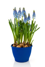 Load image into Gallery viewer, Gardening for Newbies - Growing Bulbs Indoors